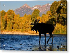 Acrylic Print featuring the photograph Dark Side Moose                               by Aaron Whittemore
