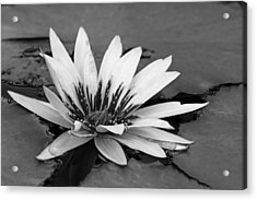 Acrylic Print featuring the photograph Dark Throated Beauty II by Dawn Currie