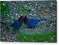 Darling I Have To Tell You A Secret-sweet Stellar Jay Couple Acrylic Print by Eti Reid