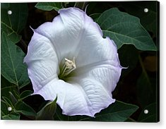 Acrylic Print featuring the photograph Datura by Cindy McDaniel