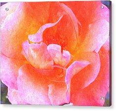 David Austins  Old World Rose Acrylic Print by Rosemarie E Seppala