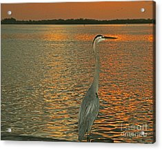 Acrylic Print featuring the photograph Dawn Greets A Blue Heron by Joan McArthur