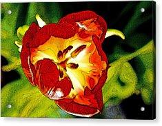 Dawn Of A Tulip Acrylic Print
