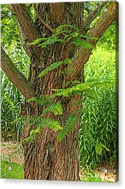 Dawn Redwood - Metasequoia Acrylic Print