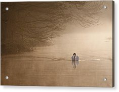 Dawn Swan Acrylic Print