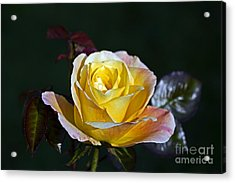 Acrylic Print featuring the photograph Day Breaker Rose by Kate Brown