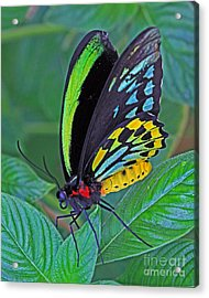 Day-glo Butterfly Acrylic Print by Larry Nieland