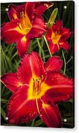 Day Lilies Acrylic Print by Adam Romanowicz
