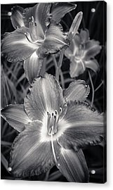 Day Lilies In Black And White Acrylic Print by Adam Romanowicz