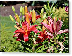 Day Lillies In The Garden Acrylic Print