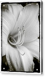Acrylic Print featuring the photograph Day Lily  by Craig Perry-Ollila
