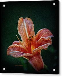 Day Lily Rapture Acrylic Print