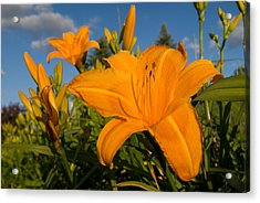 Day Lily Time Acrylic Print