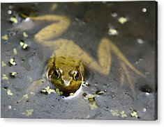 Daybreak Frog Acrylic Print by Christina Rollo