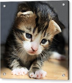 Acrylic Print featuring the photograph Daydreamer Kitten by Terri Waters