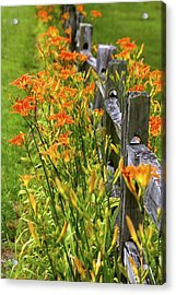 Daylilies Along Fence Acrylic Print