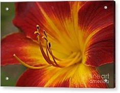 Daylily Close Up II Acrylic Print