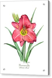 Daylily Hunters Torch Acrylic Print by Artellus Artworks