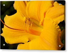 Acrylic Print featuring the photograph Daylily by Linda Segerson
