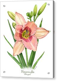 Daylily Svengali  Acrylic Print by Artellus Artworks