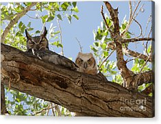 Daytime Roost Acrylic Print