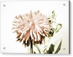 Acrylic Print featuring the photograph Dazzling Dahlia by Sherri Meyer