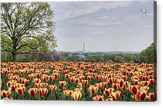Dc Tulips  Acrylic Print