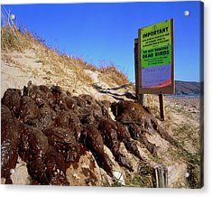 Dead Birds Killed By An Oil Spill At Sea. Acrylic Print by Simon Fraser/science Photo Library