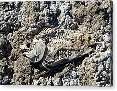 Dead Fish On Salt Flat Acrylic Print by Jim West