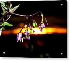 Deadly Nightshade Acrylic Print