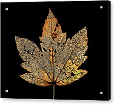 Decayed Norway Maple Leaf Acrylic Print by Gilles Mermet