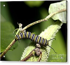 Deep In The Green - A Caterpillars Life Acrylic Print