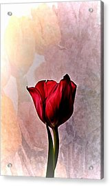Deep Red Tulip On Pale Tulip Background Acrylic Print