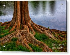 Deep Roots - Tree On North Carolina Lake Acrylic Print by Dan Carmichael