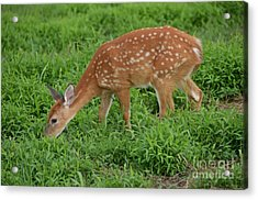 Deer 46 Acrylic Print
