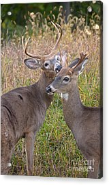 Deer 49 Acrylic Print