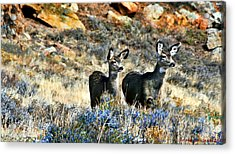 Deer Alert Acrylic Print by Rebecca Adams