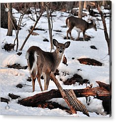 Deer And Snow Acrylic Print