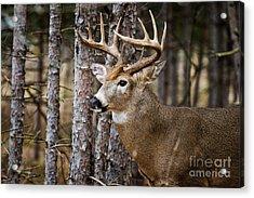 Deer Buck Acrylic Print