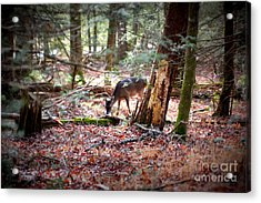 Deer Grazing Around The Loop Cades Cove Acrylic Print