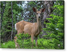 Deer In The Assiniboine Park, Canada Acrylic Print