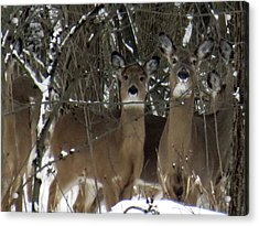 Acrylic Print featuring the photograph Deer Posing For Picture by Eric Switzer