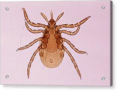 Deer Tick Nymph. Ixodes Dammini. Vector Of Lyme Disease. Head Contains Formidable Piercing Organ (hypostome). 10x Acrylic Print by Ed Reschke