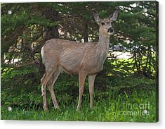 Deer Tourist... Acrylic Print by Charles Kozierok