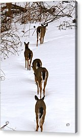 Deer Trail Acrylic Print by Jay Nodianos