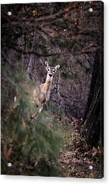 Deer's Stomping Grounds. Acrylic Print
