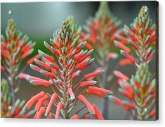 Delicate Aloe - Botanical Photography By Sharon Cummings Acrylic Print by Sharon Cummings