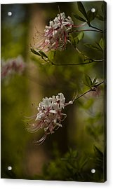 Delicate  Acrylic Print by Cindy Rubin