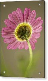 Delicate Daisy Acrylic Print