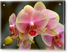 Acrylic Print featuring the photograph Delicate Orchids by Amanda Vouglas